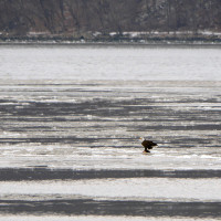 Bald Eagle Sightings in NYC – amazing experience in Inwood Park (saw 13 at one time!!!)
